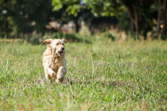 Golden Retriever Running Royalty Free Stock Image