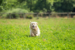 Golden Retriever Running Royalty Free Stock Images