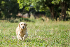 Golden Retriever Running Stock Images