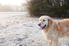 Golden Retriever Running Through Frosty Landscape Stock Image