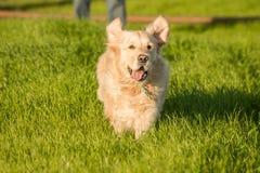 Golden Retriever Running in Green Grass. Stock Photo