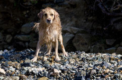 Golden retriever running Royalty Free Stock Photos