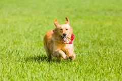 Golden retriever running on the lawn Royalty Free Stock Photos