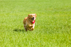 Golden retriever running on the lawn Royalty Free Stock Photo