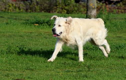 Golden Retriever Running Royalty Free Stock Photography