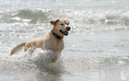 Golden Retriever. Running in the sea Royalty Free Stock Photo
