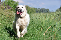 Golden retriever running and smiling Stock Image