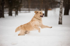 Golden retriever running on the snow. Stock Photography