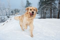 Golden retriever running in the snow Royalty Free Stock Photo
