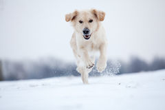 Golden Retriever running in snow Stock Image