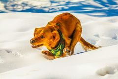 Golden retriever running through the snow, Alberta, Canada. A rust coloured golden running full speed through the snow Royalty Free Stock Photo