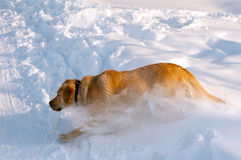 Golden retriever running in thick snow Stock Images