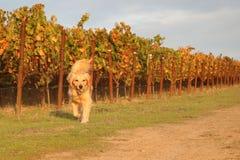 Golden Retriever Running in Vineyard. Golden Retriever dog running in a vineyard with a ball Royalty Free Stock Photo