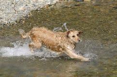 Golden retriever running Stock Image