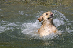 Golden retriever running Royalty Free Stock Photo
