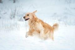 Golden retriever runs free in winter field Stock Photo