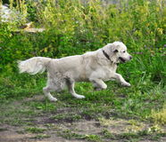 Golden retriever runs outdoor. With green background Royalty Free Stock Photo