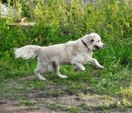 Golden retriever runs outdoor Royalty Free Stock Photo