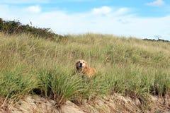 Golden retriever in sand dunes. Beautiful golden retriever playing in the sand dunes Royalty Free Stock Photo