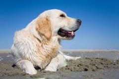 Golden retriever on a sandy beach Stock Photography