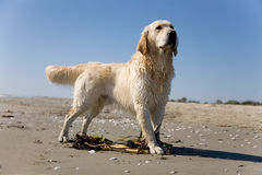 Golden retriever on a sandy beach Stock Photos