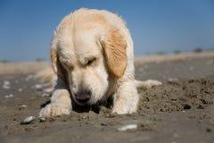 Golden retriever on a sandy beach Royalty Free Stock Image