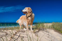 Golden retriever on a sandy dune overlooking tropical beach Royalty Free Stock Photos