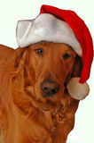 Golden Retriever santa. Buster claus beaitoful golden retriever wearing a red sant hat Isolated with space for text Stock Image