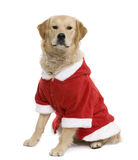 Golden retriever in Santa coat Royalty Free Stock Photo