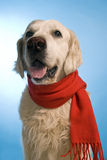Golden retriever with scarf Royalty Free Stock Photo