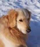 Golden retriever se reposant à la neige Photo libre de droits