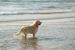 Golden retriever in the sea Stock Photos