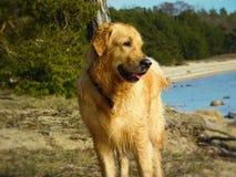 Golden Retriever at the sea. Golden retriever looking at the sea in Estonia stock photo