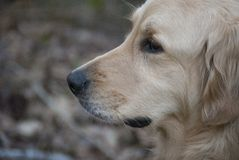 Golden retriever-Seitenprofil Stockbild
