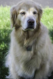 Golden retriever senior Fotografie Stock Libere da Diritti