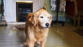 Golden retriever senior pigro dell'animale domestico domestico fotografia stock