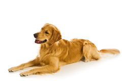 Golden Retriever Series (Canis Royalty Free Stock Image