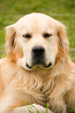 Golden Retriever is serious Royalty Free Stock Image