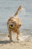 Golden Retriever. Shaking off water stock photo