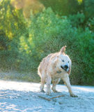 Golden Retriever shaking off water in summer Royalty Free Stock Photo