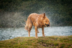 Golden retriever shaking off water after swimming in a local lak Royalty Free Stock Images
