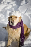 Golden retriever with shawl. Funny dog with hat and shawl Royalty Free Stock Photography