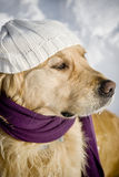Golden retriever with shawl. Funny dog with hat and shawl Stock Photography