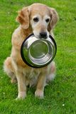 Golden retriever and shiny bowl Royalty Free Stock Image