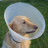 Golden Retriever Sick dog cone Royalty Free Stock Photography