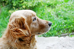 Golden retriever side view Royalty Free Stock Image