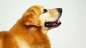 Golden Retriever stock footage