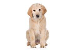 Golden retriever siedzi i patrzeje prosto odizolowywający na bielu Zdjęcie Royalty Free