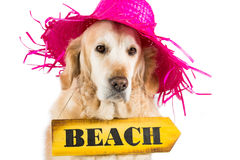 Golden Retriever with a sign indicating the beach Stock Photography