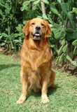 Golden retriever sit stock photo